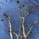 Counting great blue heron nests